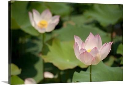 Lotus Flowers II