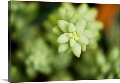 Macro Succulent II