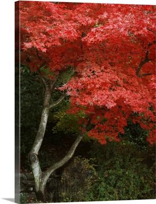 Maple Beauty I