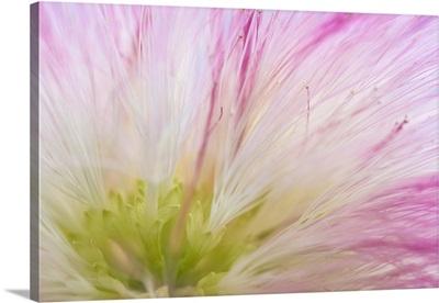 Mimosa Tree Blossom IV