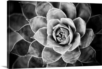 Monochrome Succulent V