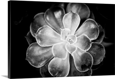 Monochrome Succulent VI