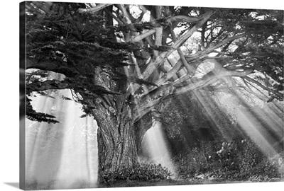 Moses Tree B