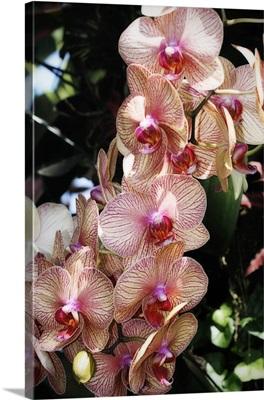 Moth Orchids V