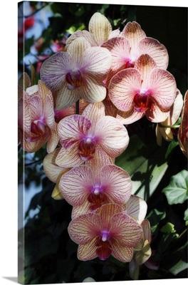 Moth Orchids VI