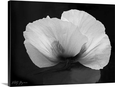 Night Poppy II
