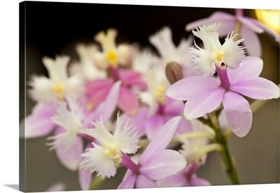 Orchid Chorus