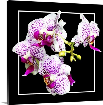 Orchids on Black III