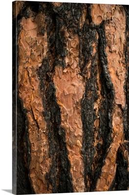 Oregon Pine II