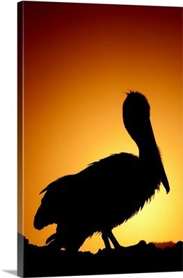Pelican Silhouette II