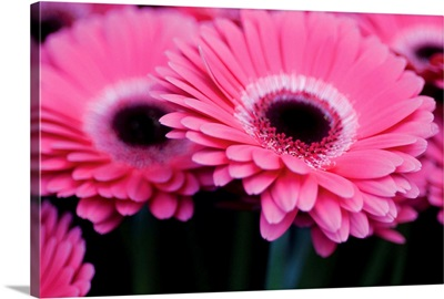 Pink Gerbera Daisies I