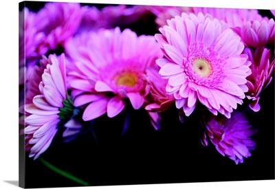 Pink Gerbera Daisies II