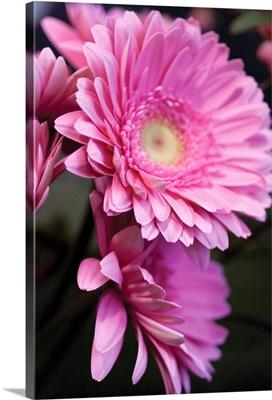 Pink Gerbera Daisies IV