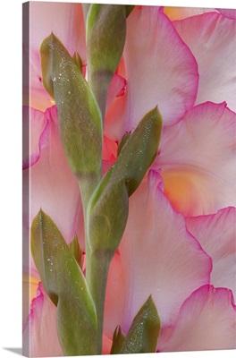 Pink Gladiola I