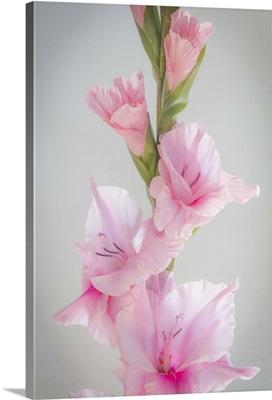 Pink Gladiola II