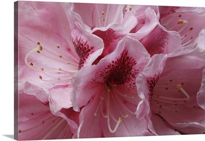 Pink Rhododendron I