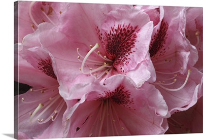 Pink Rhododendron II