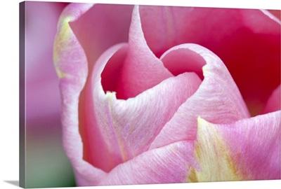 Pink Tulip I