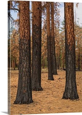Ponderosa Forest after Fire