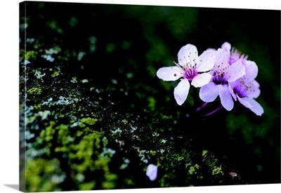 Portland Cherry Blossom I