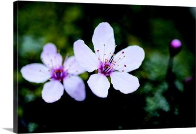 Portland Cherry Blossom II