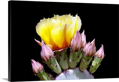 Prickly Pear Blossom and Buds