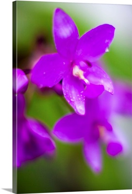 Purple Orchid I