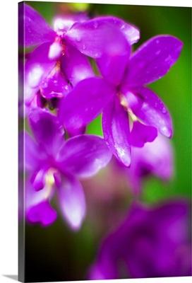 Purple Orchid II