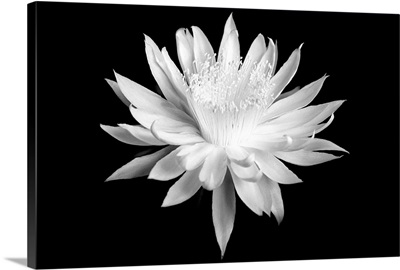 Queen of the Night I - Black and White