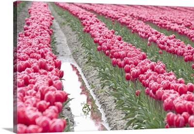 Rainy Tulip Field
