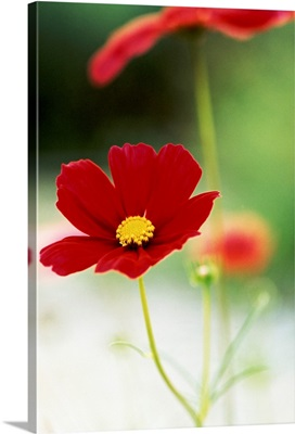 Red Cosmos II