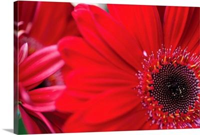 Red Gerbera Close-up