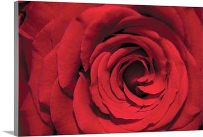 Red Rose Detail