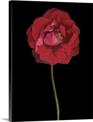 Red Rose II