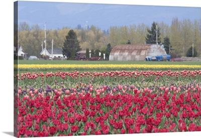 Red Tulip Farm