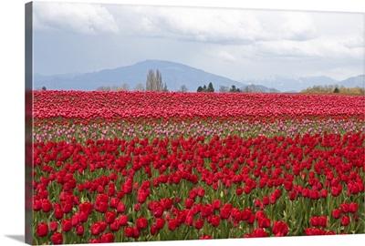 Red Tulip Mound II