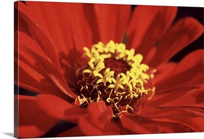 Red Zinnia I