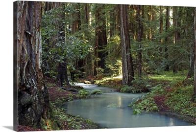 Redwood Forest I