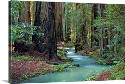 Redwood Forest II