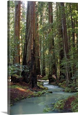 Redwood Forest III