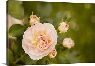 Rose Bush I