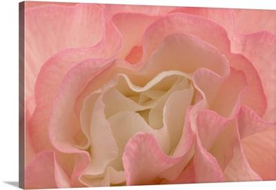 Rosy Begonia I