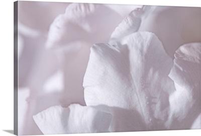Rosy Petals II