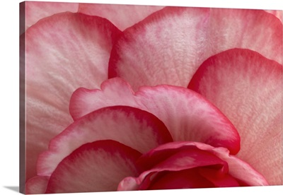 Rosy Red Ruffles I