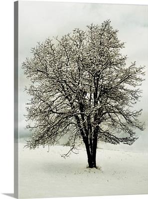 Snow White Tree