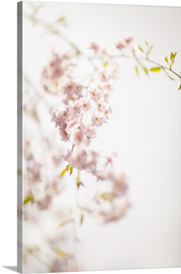 Soft Blooms IV
