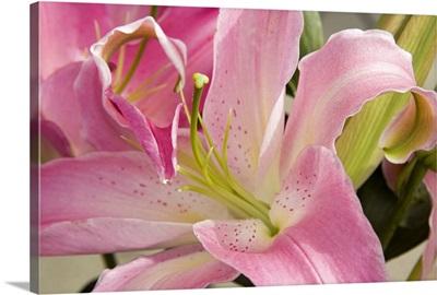 Soft Pink Lily I