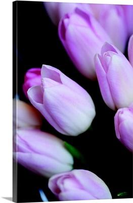 Soft Pink Tulips I