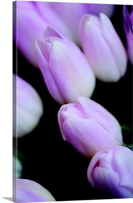 Soft Pink Tulips II