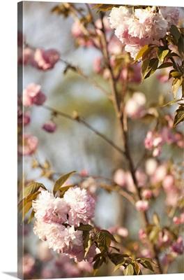 Spring Blossoms V